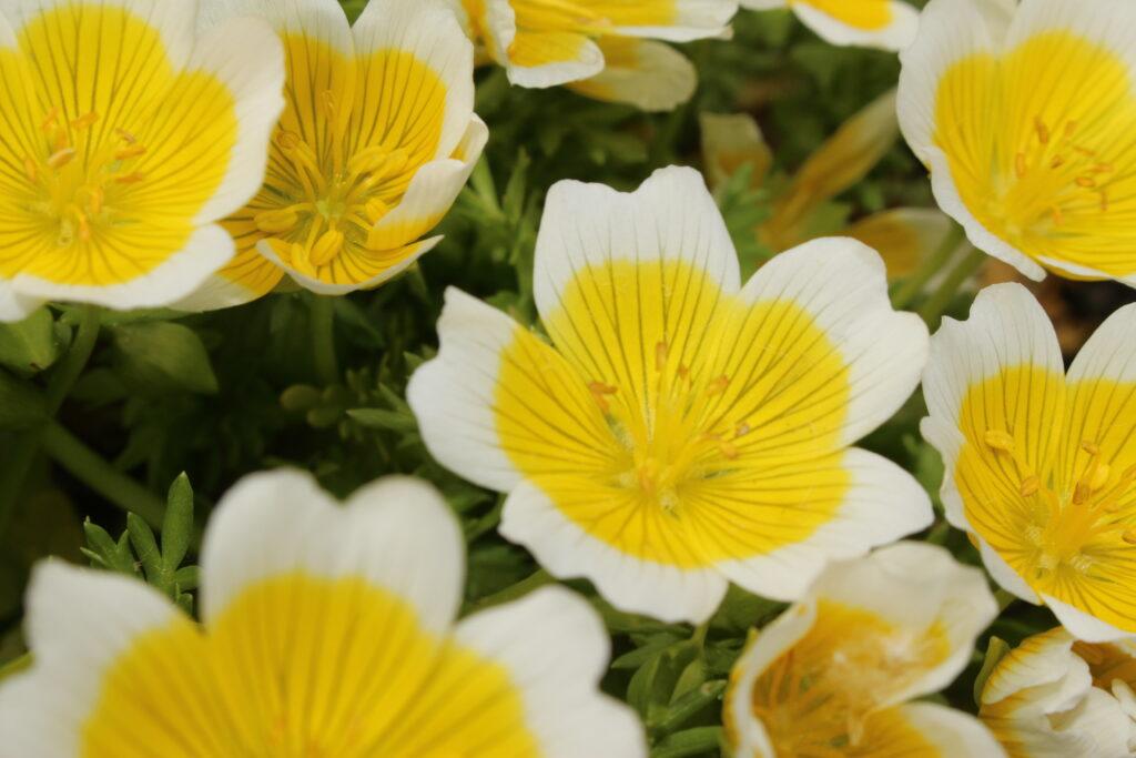 meadowfoam-seed-oil